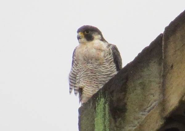 Peregrine at the Times Building, 15 Aug 2016 (photo by Lori Maggio)