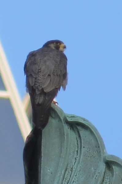 Peregrine on the shield at Wood Street Commons, 1 Aug 2016 (photo by Lori Maggio)