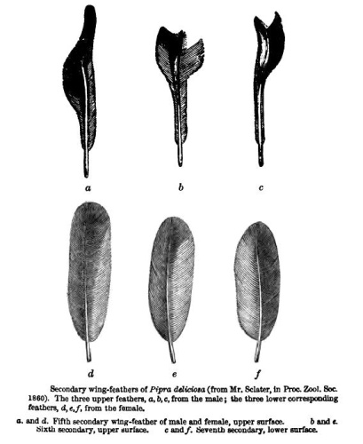 Modification of Manakin Pipra deliciosa = Machaeropterus deliciosus wings for sound production, from Darwin's - The Descent of Man