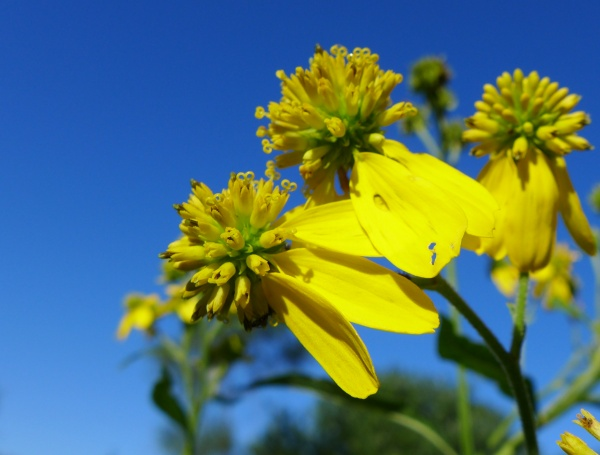Wingstem flowers (photo by Kate St. John)