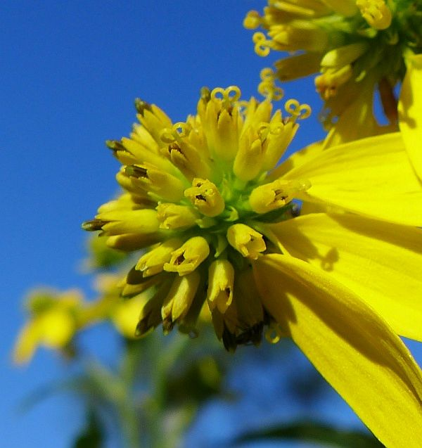 Wingstem flowers, closer and sharper (photo by Kate St. John)