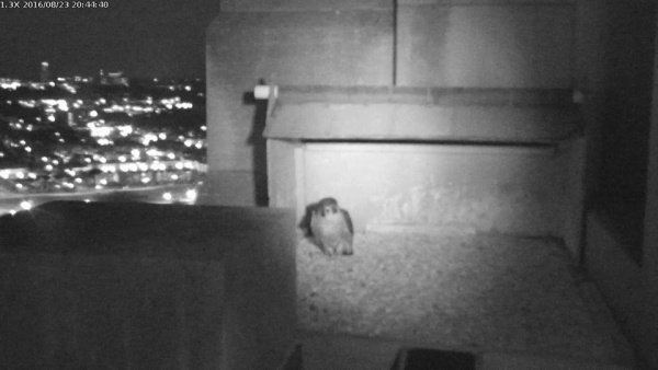 Louie visits the Gulf Tower nest at 8:45pm, 23 Aug 2016 (photo from the National Aviary falconcam at Gulf Tower)