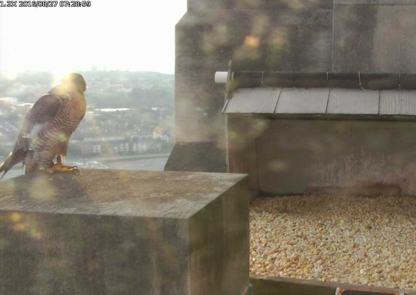 Dori at the Gulf Tower, 27 Aug 2016, 7:30am (photo from the National Aviary falconcam at Gulf Tower)