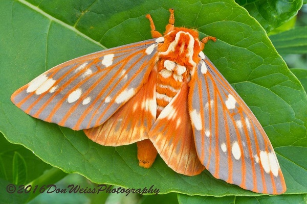 Royal Walnut or Regal Moth (photo by Don Weiss)