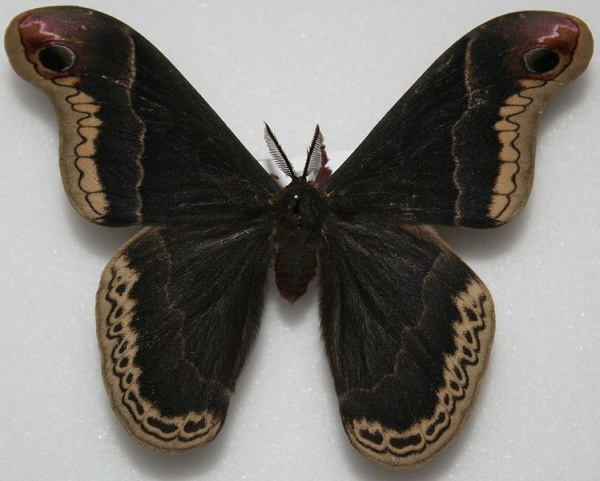 Male Promethea moth (photo from Wikimedia Commons)