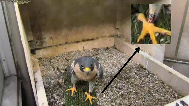 Magnum at the Cathedral of Learning nest, 12 August 2016, 5:15pm (photo from the National Aviary falconcam at Univ of Pittsburgh)