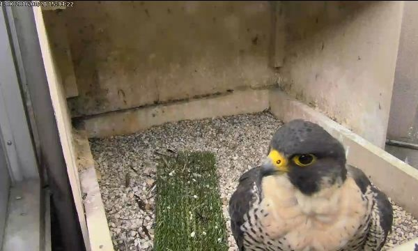 Hope at Pitt, 28 Aug 2016, 3:34pm (photo from the National Aviary falconcam at Univ of Pittsburgh)