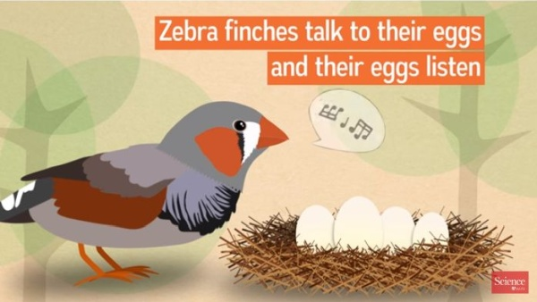 Screenshot from Science video about zebra finch nest songs (Click on the image to see the video)