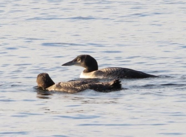 Loon chicks eight weeks old at Beech Hill Pond, Maine (photo by Claire Staples)