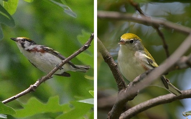 Chestnut-sided warbler, Spring and Fall (photos by Andy Reago & Chrissy McClarren via Wikimedia Commons)