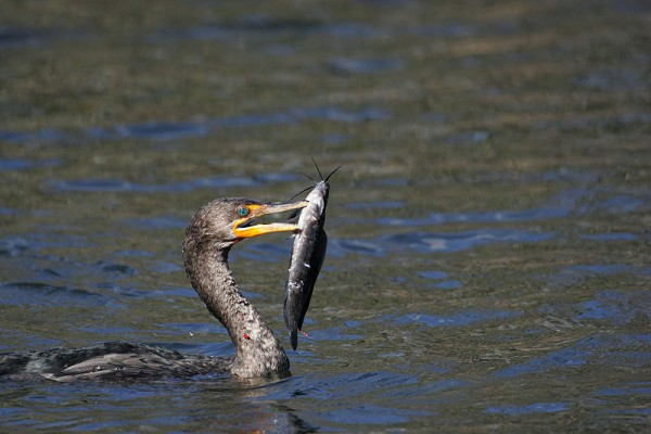 Double-crested cormorantwith catfish, Everglades National Park (photo from Wikimedia Commons)