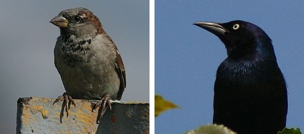House Sparrow And Common Grackle Photos By Chuck Tague