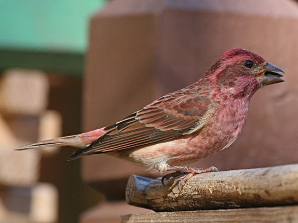 Purple finch (photo by Chuck Tague)