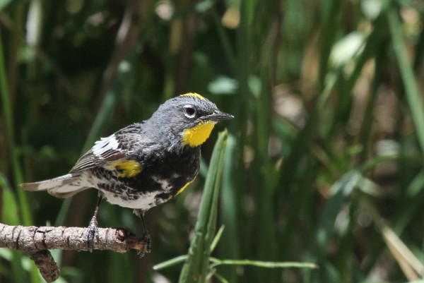 Yellow-rumped (Audubon's) warbler (photo by Steve Valasek)