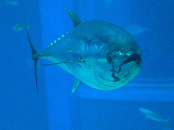 Pacific bluefin tuna, Kaiyukan Aquarium, Osaka, Japan (photo from Wikimedia Commons)