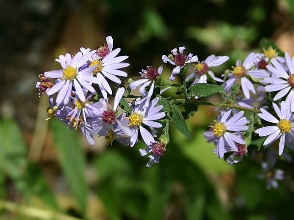 Calico asters (photo by Kate St. John)