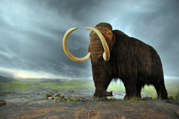 Woolly mammoth statue in the Royal BC Museum, Victoria, BC, Canada (photo from Wikimedia Commons)