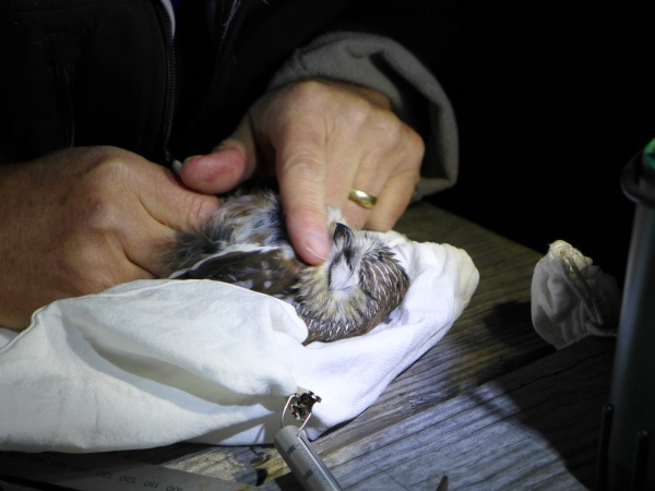 Bob examines a northern saw-whet owl prior to banding (photo by Kate St. John)