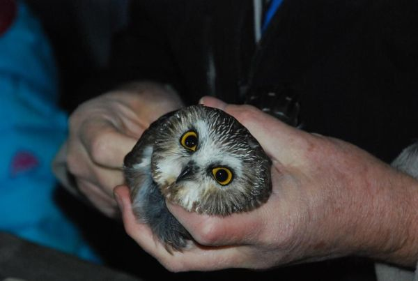 Northern saw-whet owl being examined before banding (photo by Donna Foyle)