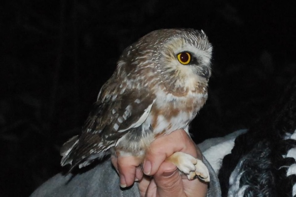 Northern saw-whet owl at banding, 26 Oct 2016 (photo by Donna Foyle)