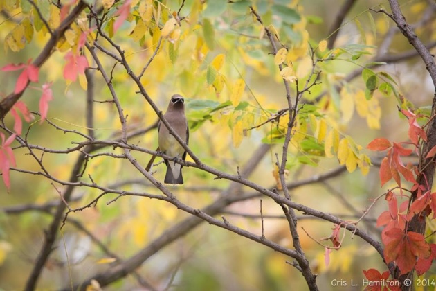 Cedar waxwing adult (photo by Cris Hamilton)