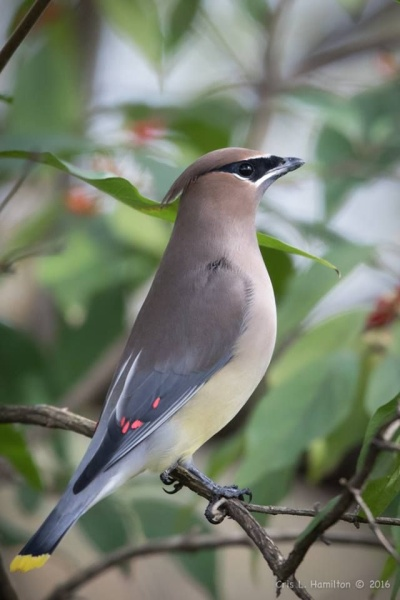 Cedar waxwing adult, showing wax-tipped wings and yellow-tipped tail (photo by Cris Hamilton)