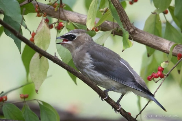 Immature cedar waxwing eating fruit (photo by Cris Hamilton)
