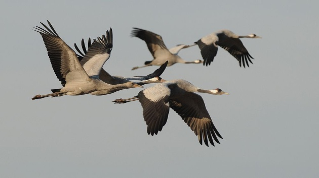 Common cranes in flight (photo by Ján Svetlík)