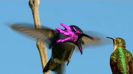 Male Costa's hummingbird sky-dances for a female (screenshot from PBS NATURE's Super Hummingbirds)