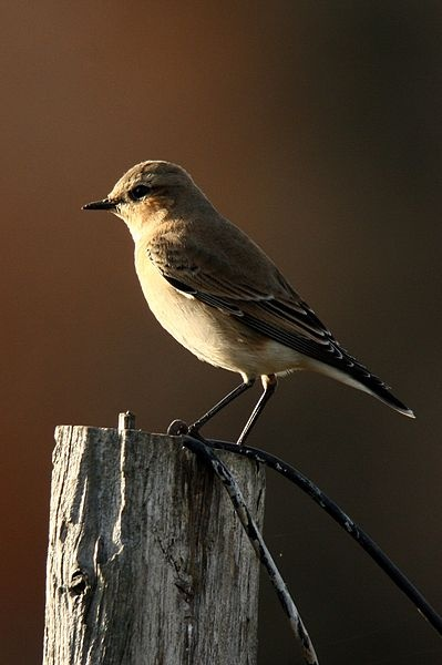 Northern wheatear in non-breeding plumage, October (photo from Wikimedia Commons)