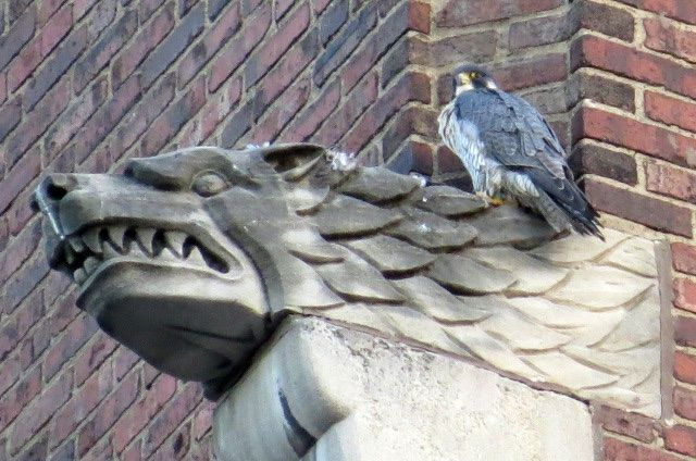Peregrine perched at Lawrence Hall gargoyle, Blvd of the Allies facing Smithfield St, 27 Sep 2016 (photo by Lori Maggio)