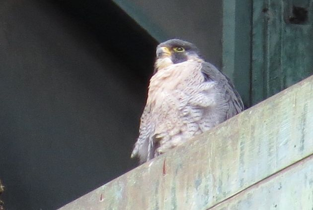 Peregrine at 3rd Ave nest site, 30 Sep 2016 (photo by Lori Maggio)
