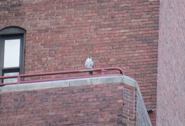 Peregrine on porch railing at Lawrence Hall, 30 Sep 2016 (photo by Lori Maggio)