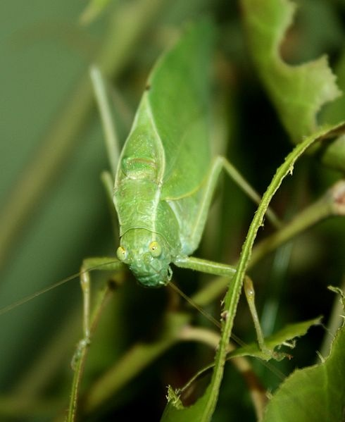 Katydid, Microcentrum species (photo from Wikimedia Commons)