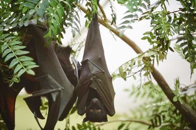 Malayan Flying Fox fruit bat, resting upside down (photo by Denmarsh Photogaphy courtesy of the National Aviary)