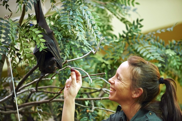 Malayan Flying Fox fruit bat being fed (photo by Denmarsh Photogtaphy courtesy the National Aviary)