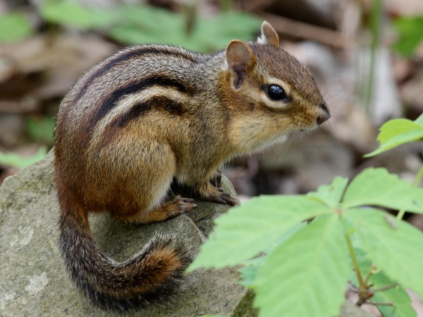 Chipmunk with food in his cheeks (photo by Chuck Tague)