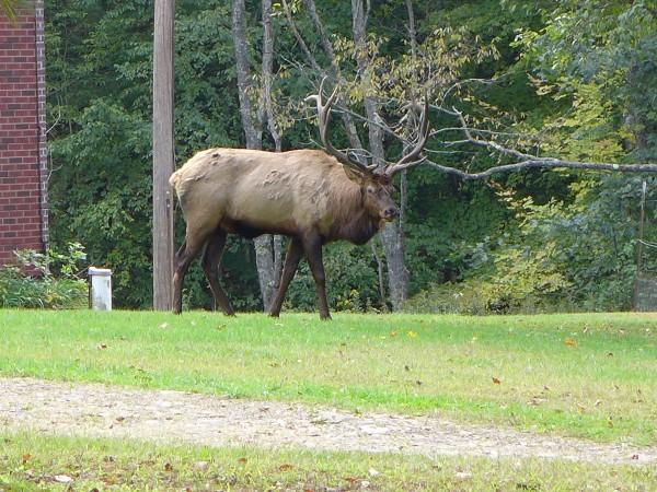 Bull elk in Elk Country, Pennsylvania, 4Oct 2016 (photo by Kate St. John)