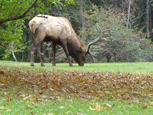 Bull elk grazing in a front yard in Elk County, 4 Oct 2016 (photo by Kate St.John)