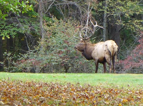 Bull elk in Elk Country, 4 Oct 2016 (photo by Kate St. John)