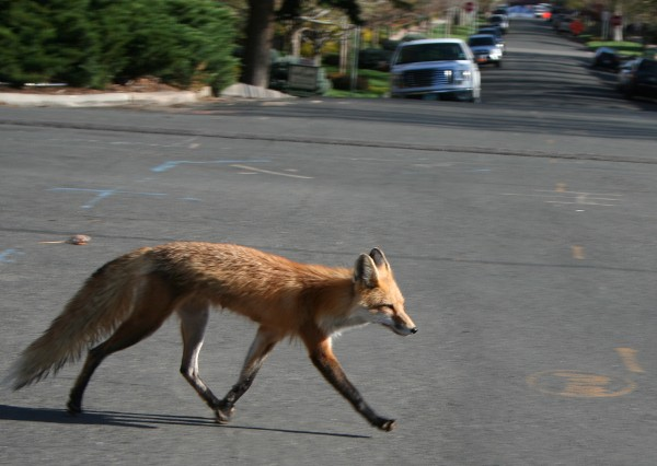 Red fox crossing a street in Portugal (photo from Wikimedia Commons)