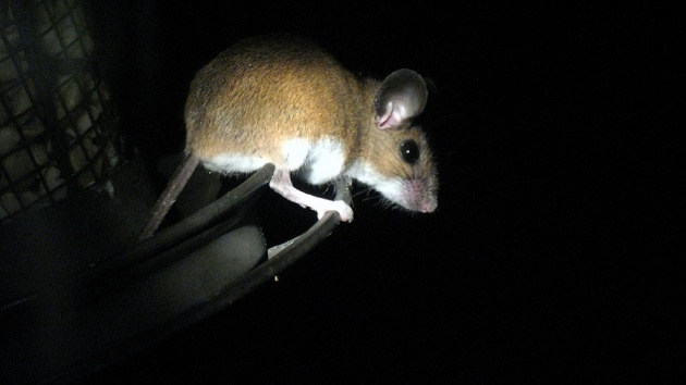 White-footed mouse raiding the peanut feeder at night (photo by Rob Ireton, Creative Commons license on Flickr)
