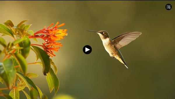 screenshot from Super Hummingbirds video by PBS NATURE