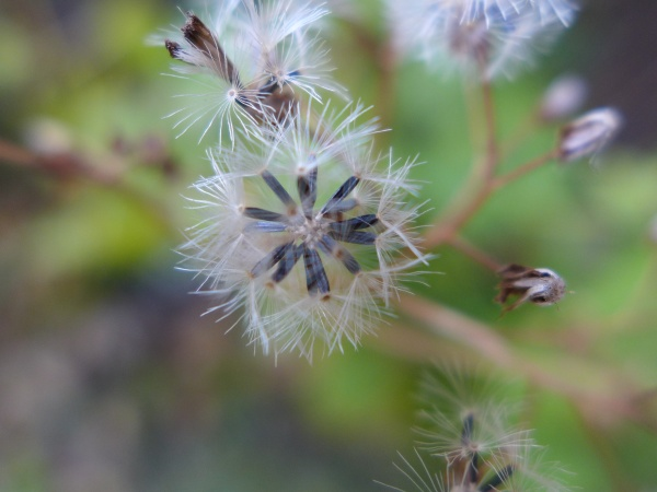 White snakeroot gone to seed (photo by Kate St. John)