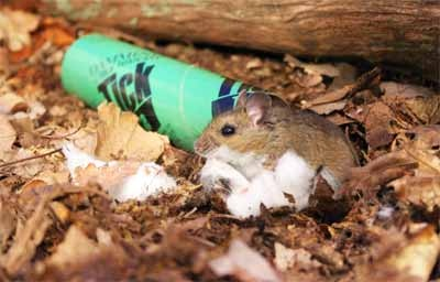 White-footed mouse with anti-tick tube and cottonball bedding (photo from tickencounter.org)