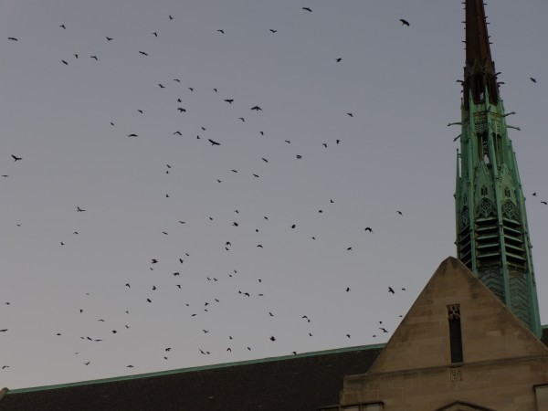 Hundreds pf crows above Bayard (photo by Kate St. John)