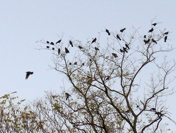 Crows assemble in the treetops (photo by Kate St.John)