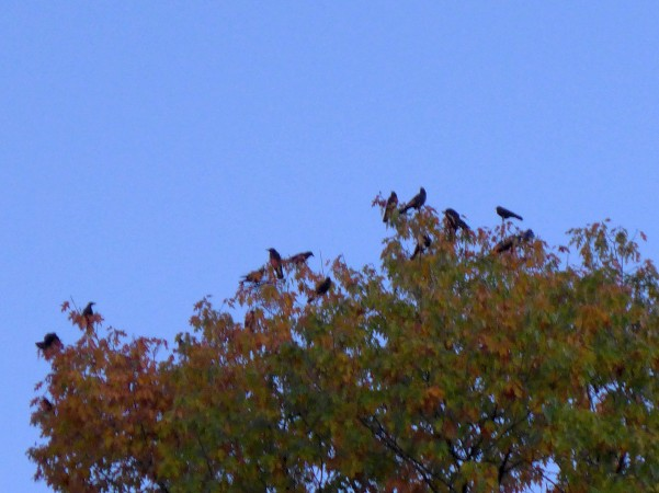 Crows settle on the treetops on Pitt's campus, 4 Nov 2016 (photo by Kate St. John)