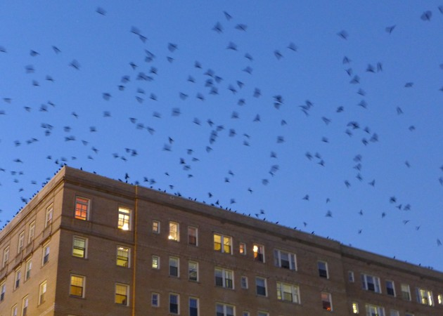 Crows burst off a building as they prepare to roost in Oakland, 4 Nov 2016 (photo by Kate St.John)