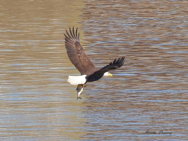 Bald eagle with fish at Conowingo (photo by Annette Devinney)